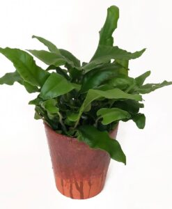 Tongue Fern