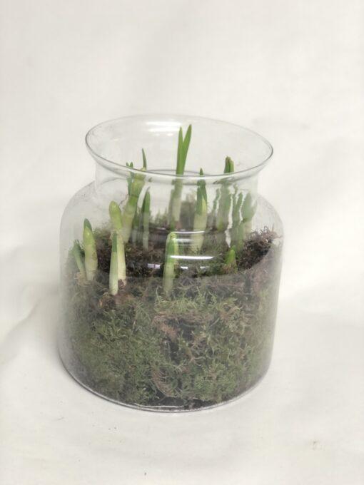 Narcissi terrarium