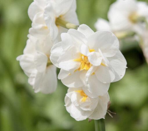 bridal crown narcissi