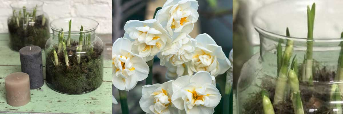 narcissus bulbs in a apothecary vase makes for a lovely Easter floral gift