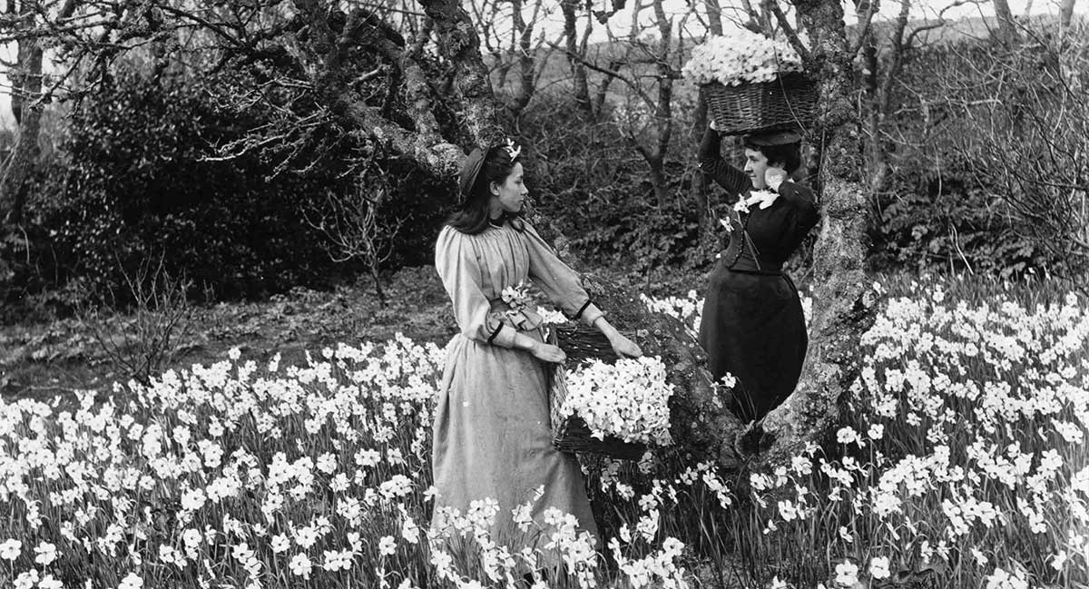 Scented Narcissi, native of the Isles of Scilly, vintage photo of flower farmers